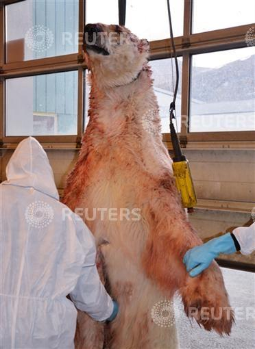 The polar bear which attacked a group of British campers on Friday and was shot by one of the group members, is examined by experts in Longyearbyen