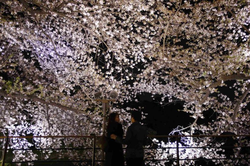 Cherry Blossoms Japan April 6 1