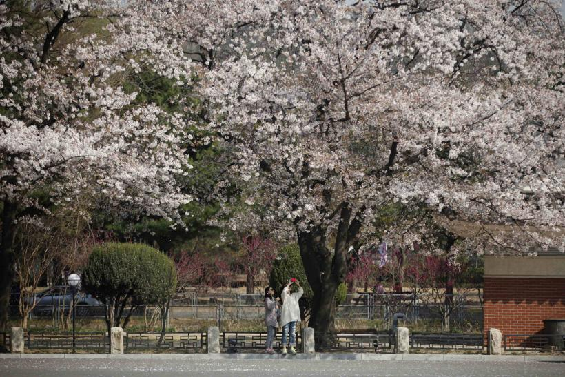 Cherry Blossoms Korea April 8 2