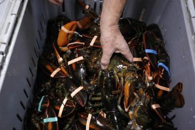 "Small-business owner Gorham grabs a lobster out of tote during delivery of live lobsters at his shop the ""Redhook Lobster Pound"" in New York"