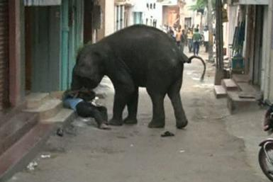 Wild Elephant In Indian City