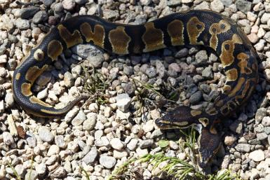 Two-headed Royal Python is pictured on ground at reptile and amphibian shop in Weigheim