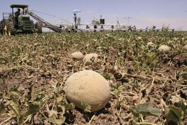 Farm workers harvest cantaloupe in Arizona