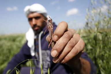 Palestinian farmer with a locust