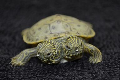 Two-Headed Cooter Turtle