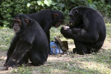 Chimpanzees 2010