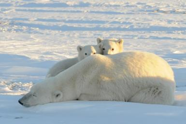 Polar Bears_Arctic
