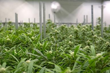 marijuana-grow-farm-indoor-cannabis-pot-weed-canada-us-getty_large