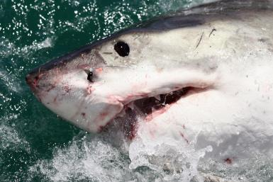 Shark Attacks Man In Cape Cod