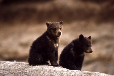 Yellowstone Grizzly Bears Back On Endangered Species List