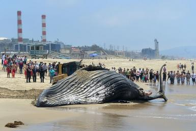 Whale Dies After Consuming Plastic