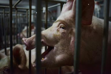 Authorities outlined a three-year plan to boost its pig-breeding facilities in a bid to restore the country's swine herd, devasted by African swine fever
