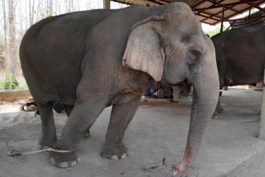 With global travel paralysed the animals are unable to pay their way, including the 300 kilograms (660 pounds) of food a day a captive elephant needs to survive