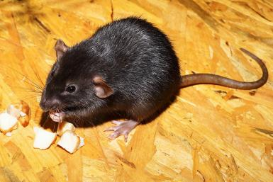 rats infecting humans with hepatitis and scientists are baffled