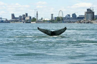 Since Saturday, the humpback has been seen exploring the waters off Montreal, hundreds of kilomnetres from the waters it usually calls home