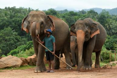 Sri Lanka's coronaviruslockdownhas helped reduce the death toll from clashes between elephants and humans