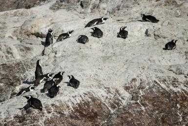 Algoa Bay, off the South African city of Port Elizabeth in the Eastern Cape province, is home to just under half the global population of African penguins
