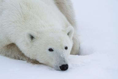 Polar bears are on a glide path towards extinction, according to a recent study.
