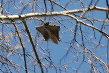 Flying_squirrel_in_a_tree