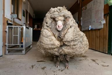 """This photo from Edgar's Mission 2021 shows """"Baarack"""", a wild sheep who was found wandering the wilderness of the Australian bush"""