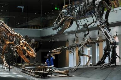 "A cameraman sets up a shot of a Tyrannosaurus rex ""Growth Series"" featuring a baby (C), juvenile (L) and young adult T. rex (R), in the Dinosaur Hall permanent exhibition at the Natural History Museum of Los Angeles"