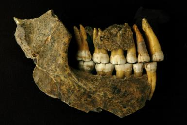 The remains of the upper and lower jaw of a Neanderthal from the Spy Cave in Belgium