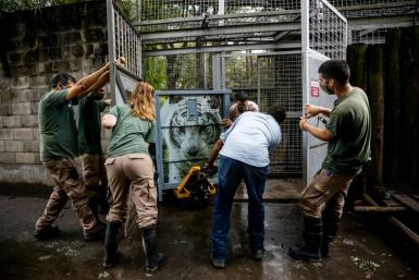 This handout picture from the Ecoparque BA, or Eco-park of Buenos Aires, shows keepers moving one of two white Bengal tigers in fitted cages to begin a journey to a far more spacious sanctuary in the US state of Colorado