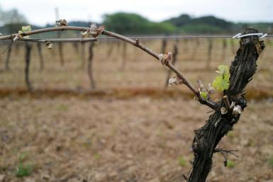 Vine buds and leaves damaged by the frost in southern France