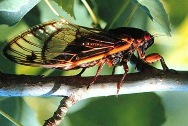 Billions of cicadas are about to emerge in parts of the eastern, central and southern United States