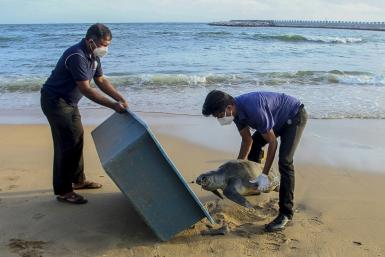 Wildlife officials remove the carcass of a sea turtle washed ashore at Galle Face beach in Colombo