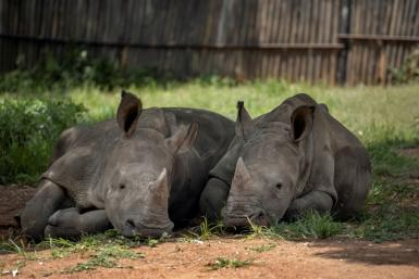 South Africa is home to nearly 80 percent of the world's rhinos but their horns are prized in traditional medicine in Asia