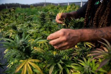 Brazilian agronomist Diogo Mantovanelli inspects cannabis plants at the Medical Cannabis Research and Patient Support Association (APEPI) production farm in Paty dos Alferes, Rio de Janeiro state, Brazil on September 9, 2021