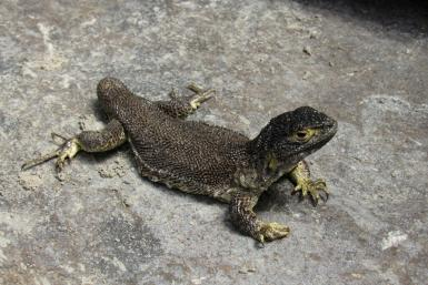 Scientists have discovered a new lizard spieces in Peru, called Liolaemus warjantay