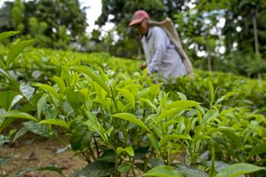 Tea crops have suffered in Sri Lanka due to a lack of organic fertiliser