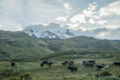 Cattle graze in the foothills of the Chimborazo volcano in Ecuador's central Andes in February 2019