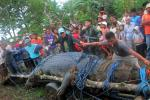Residents use their hands to measure a saltwater crocodile after it was caught in southern Philippines