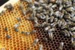Killer Bees Attack in Arizona; Where Else Can it Happen?