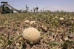 Fourteen States Report Infections from Listeria Outbreak Linked to Cantaloupe
