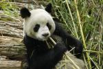 Panda Blood Contains Antibiotic That Kills Drug-Resistant Bacteria & Fungi
