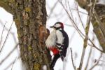 Why Don't Woodpeckers Get Brain Damage?