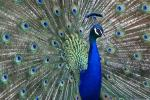Peacocks, Revered Symbol Of Indian Subcontinent, Dying Out From Disease