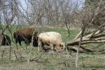 Rare White Buffalo Died Of Bacterial Infection, Not Mutilation: Hunt County Sheriff's Office