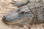Alligators In Brooklyn Apartment Among 13 Beasts Found By Authorities