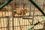 Syria's Assad Behind Bars? Yes, At The Damascus Zoo