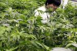 Feds Could Circumvent States' Legalization Of Pot