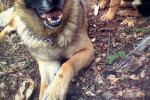 Loyal Dog Prevents Suicide Attempt: German Shepherd Saves Owner From Shooting Herself In Heart