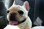 Meet 'Sir Charles Barkley,' The Adorable French Bulldog