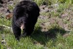 Woman Saves Husband From Bear Attack In Unusual Way