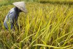 Myanmar Benefits From Thailand's Misguided Rice Subsidy