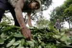 A Cocaine-Free Colombia? Coca Plantations Reduced By 25 Percent